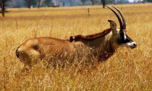 Antelope roaming Ruma National Park